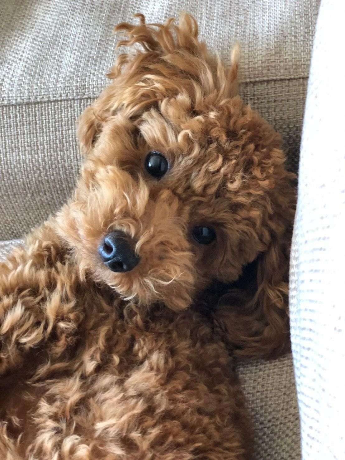 All About The Eager Poodle Pups And Kids Poodlesandpaws