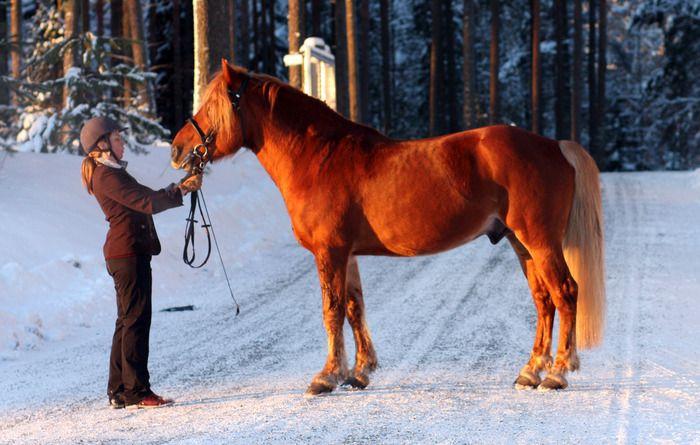 Finnhorse Turo-Teilori