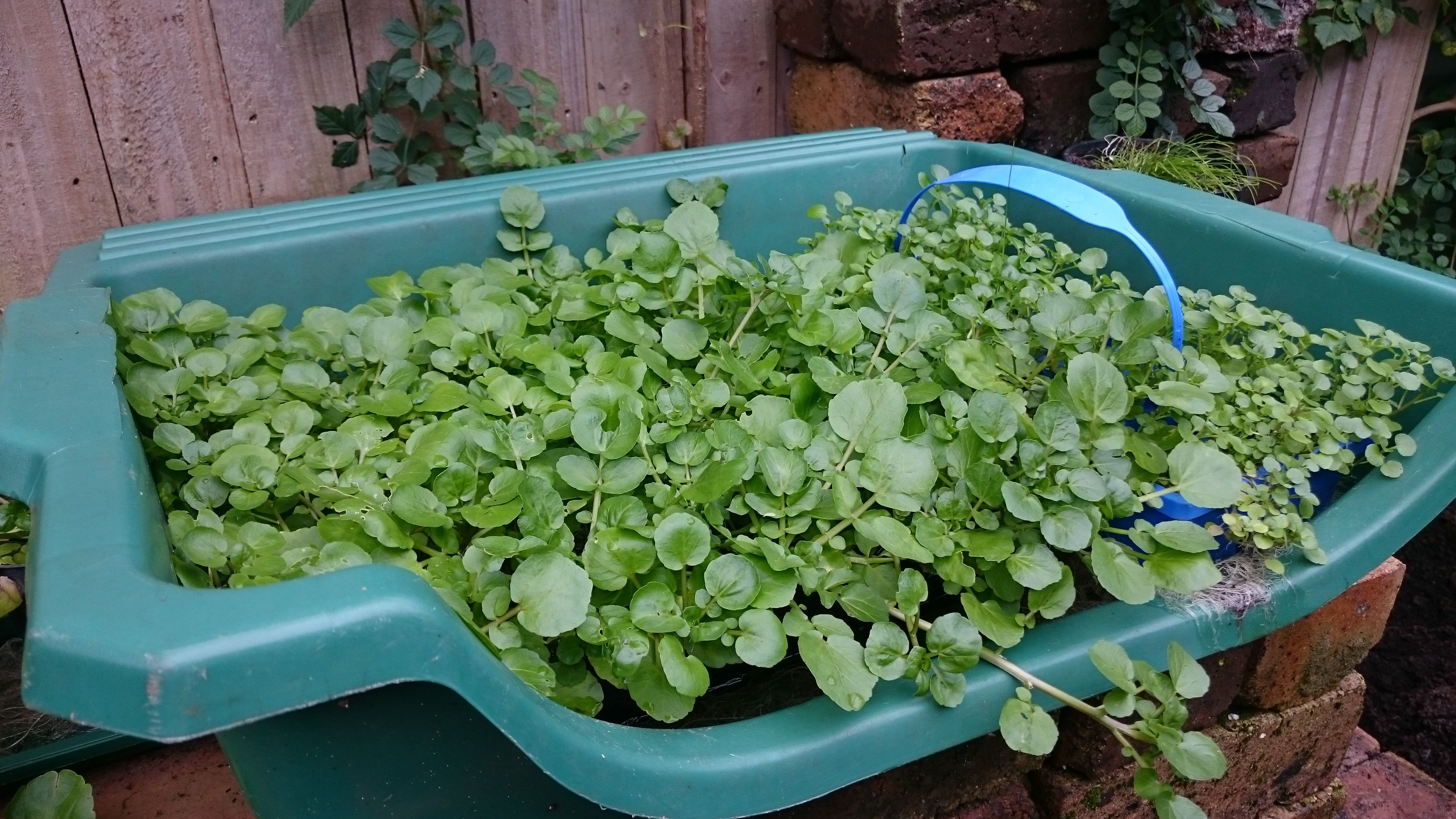Growing Watercress in potting bin works wonderfully, but anything that  holds water will do the job, just don't let … | Growing microgreens, Water  plants, Watercress