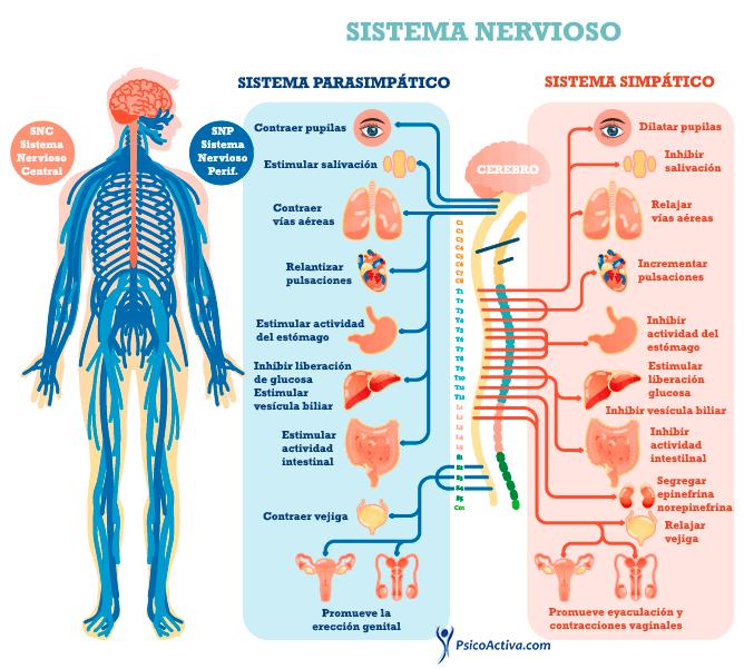 Sistema Simpatico Parasimpatico Sistema Nervioso Periferico Sistema Nervioso Autonomo Tejido Nervioso