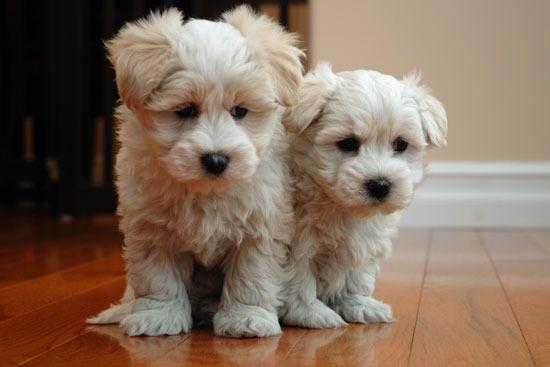 Coton De Tulear For Sale Hoobly Classifieds Coton De Tulear Puppy Coton De Tulear Puppies