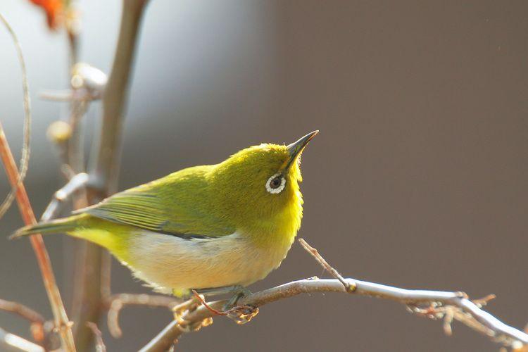 朝陽の中でメジロ : 呉のメバル師 | 鳥 かわいい, ペットの鳥, 美しい鳥