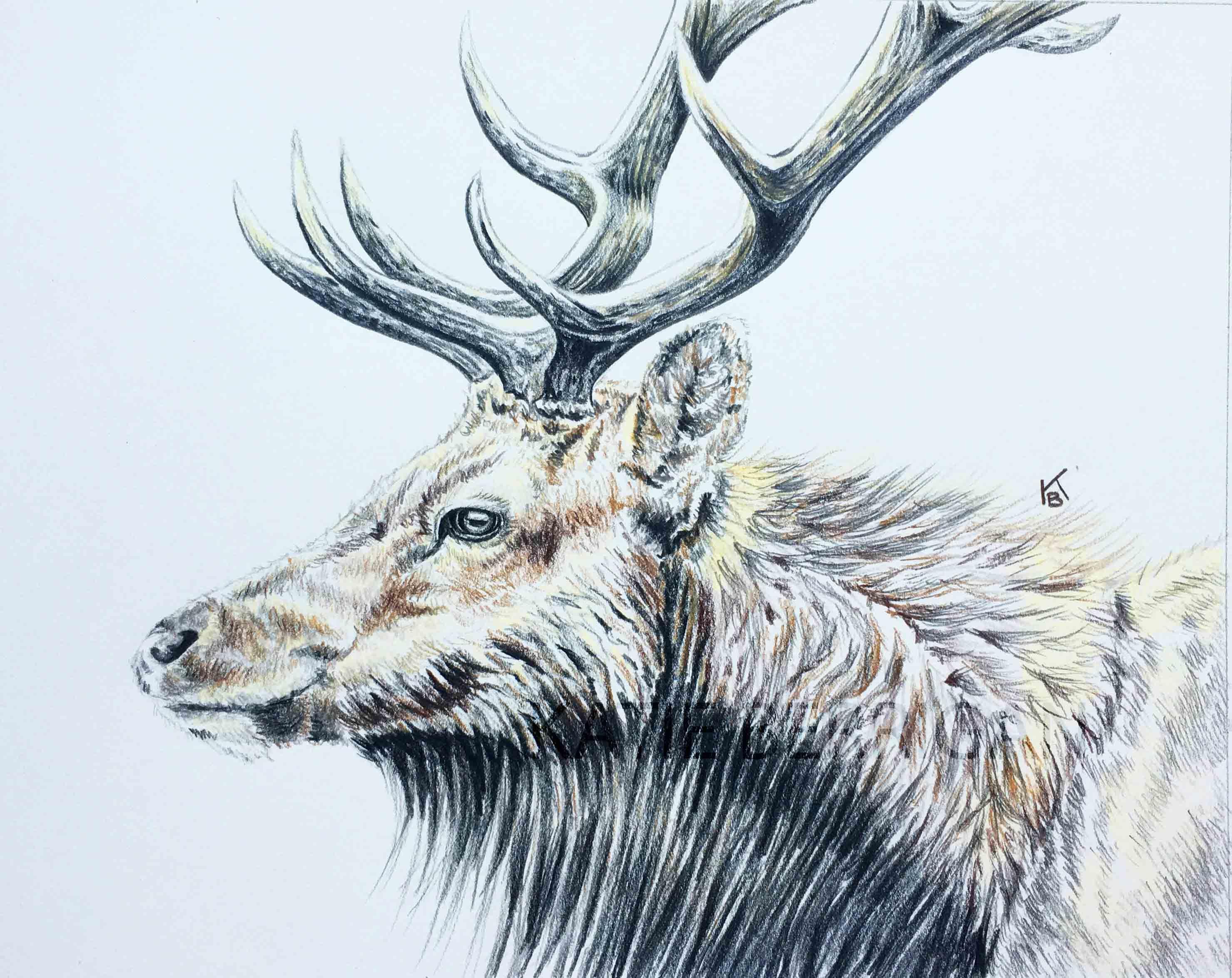 """Elk 8x10"""" colored pencil drawing www.kberriganart.com ..."""