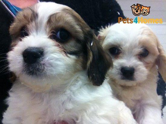 Cavachon Puppies 8 Weeks Old Horsham West Sussex Pets4homes
