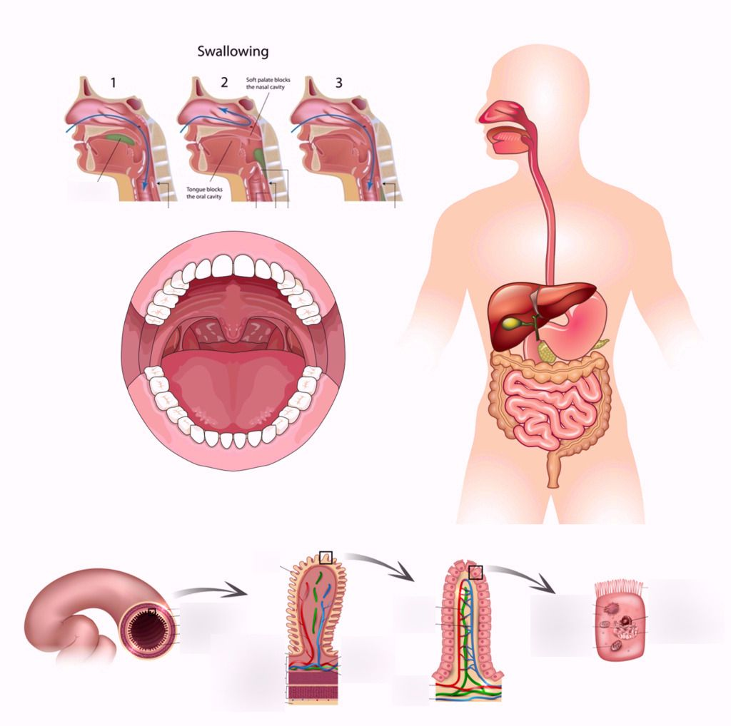 Digestive System Diagram | Quizlet | Science Diagrams | Pinterest ...
