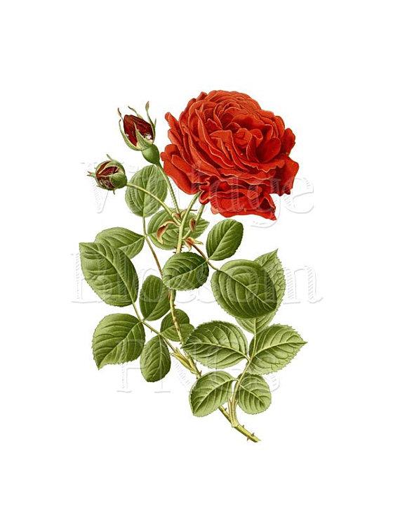 Png Vintage Rose Clip Art Red Rose Illustration Digital Etsy Rose Illustration Rose Wall Art Botanical Prints