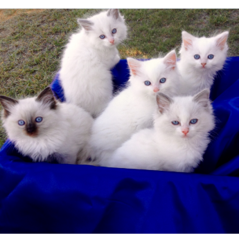 Bilwon Classy Cats Registered Cat Breeder Cairns Queensland Ragdoll Kittens Cat Breeder Pedigree Cats Beautiful Cats