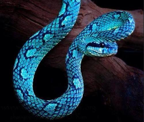 Sonhar com cobras blue