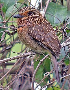 Crescent-chested Puffbird - Brazil. (Pete Morris)