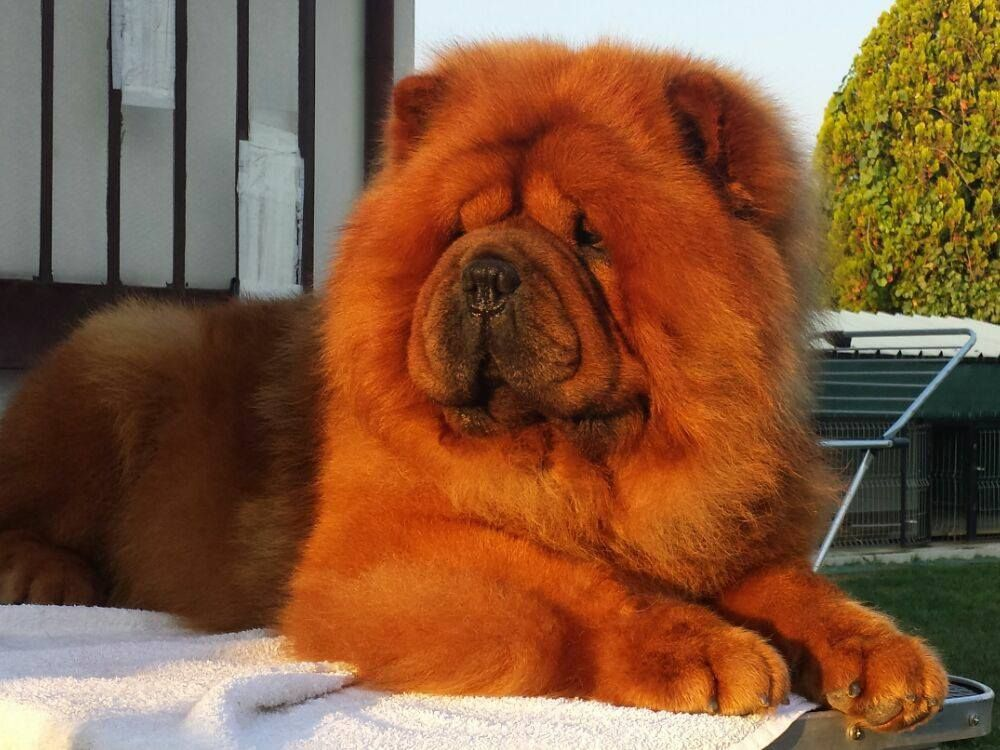 Self Red Chow Chow Gorgeous But I Prefer The Shaded Reds Chow