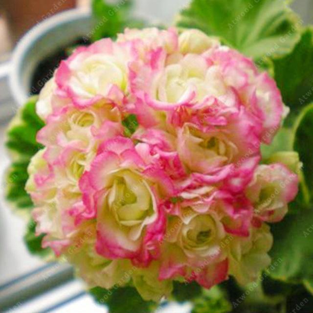 20pcs Rare Colors Available Geranium seeds for home garden Perennial garden flowers pelargonium bonsai seed free shipping