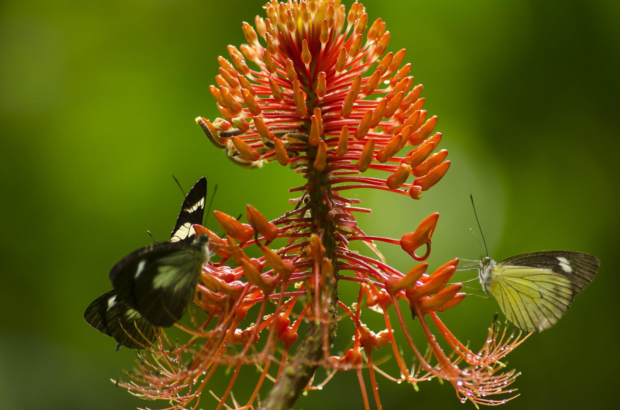 mariposas - mariposas tropicales, bosque nublado La Esperanza