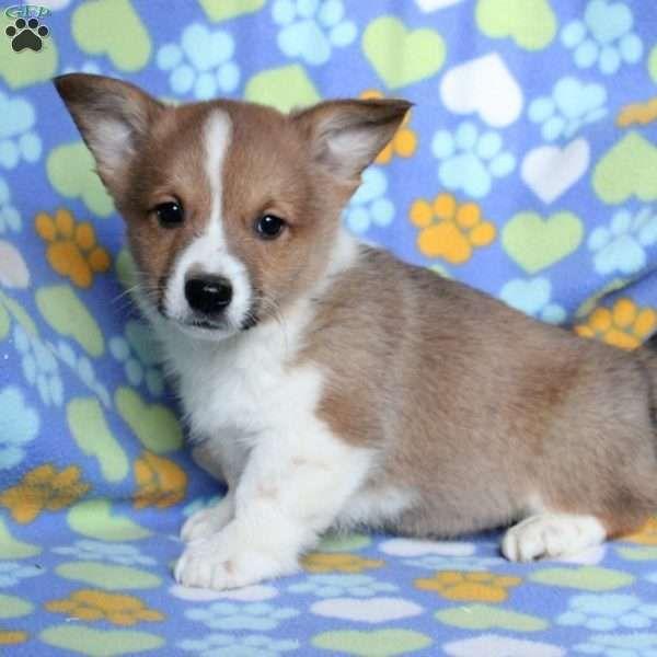 Lavern Pembroke Welsh Corgi Puppy For Sale In Pennsylvania In 2020 Welsh Corgi Puppies Corgi Puppies For Sale Pembroke Welsh Corgi Puppies