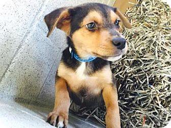 Atlanta Ga Chihuahua Beagle Mix Meet Theo A Puppy For