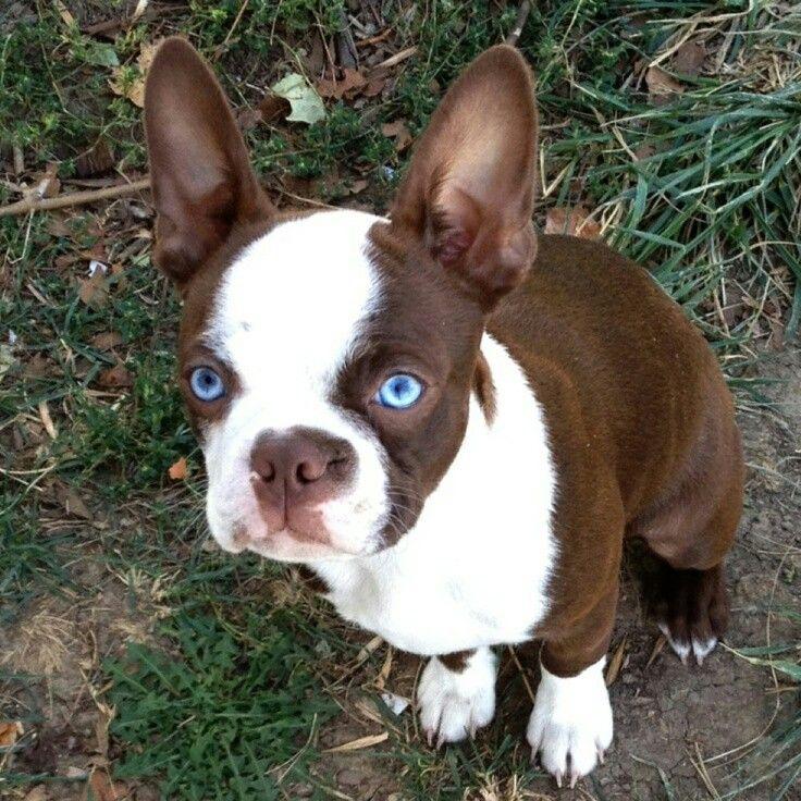 Blue Eyed Boston Terrier Boston Terrier Dog