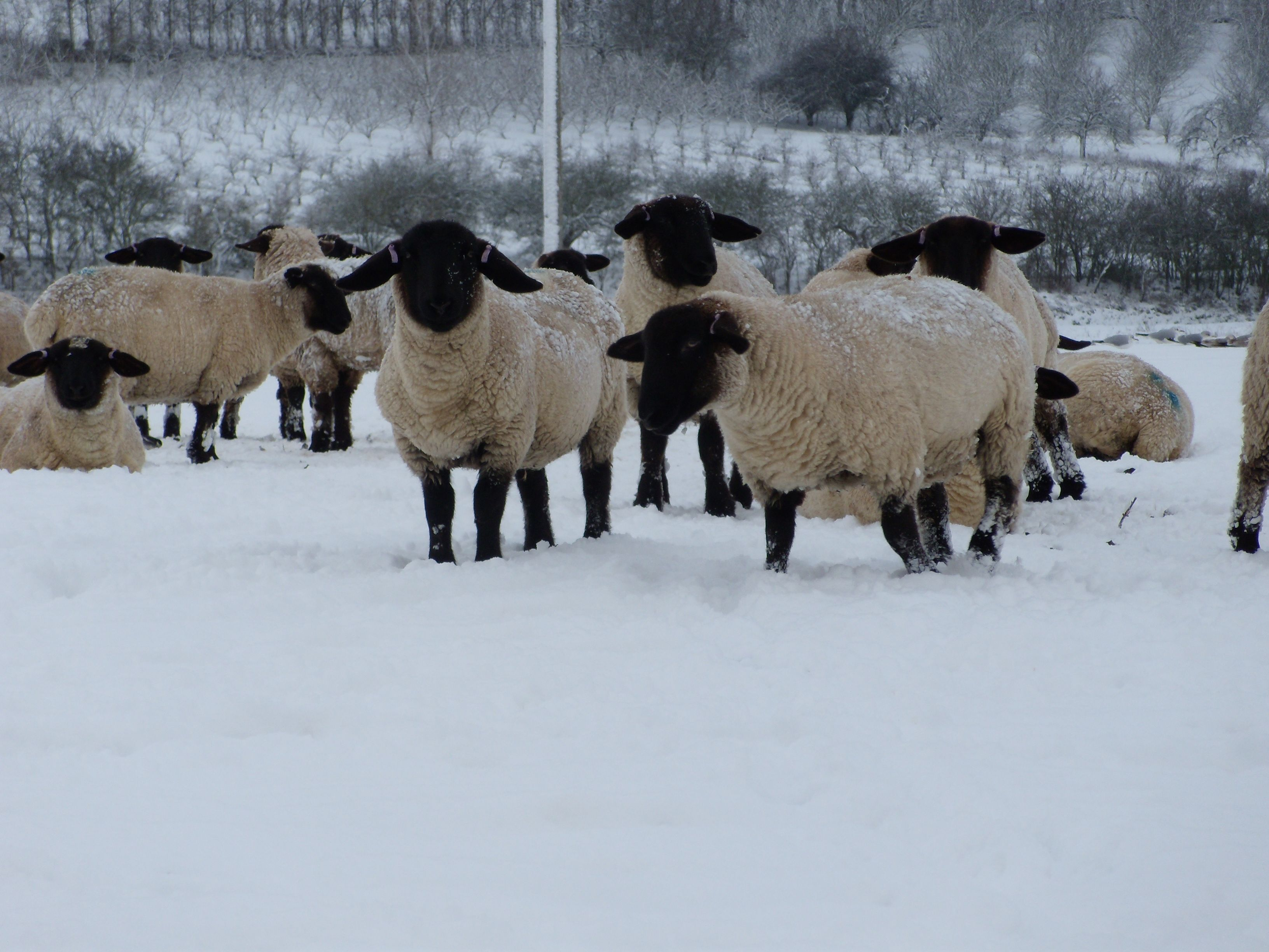 Black Faced Sheep In The Snow In Teynham Churchyard Kent