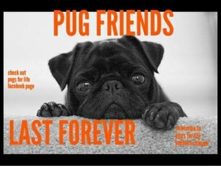 Read More About Pug Cross Puppies For Sale Check The Webpage For