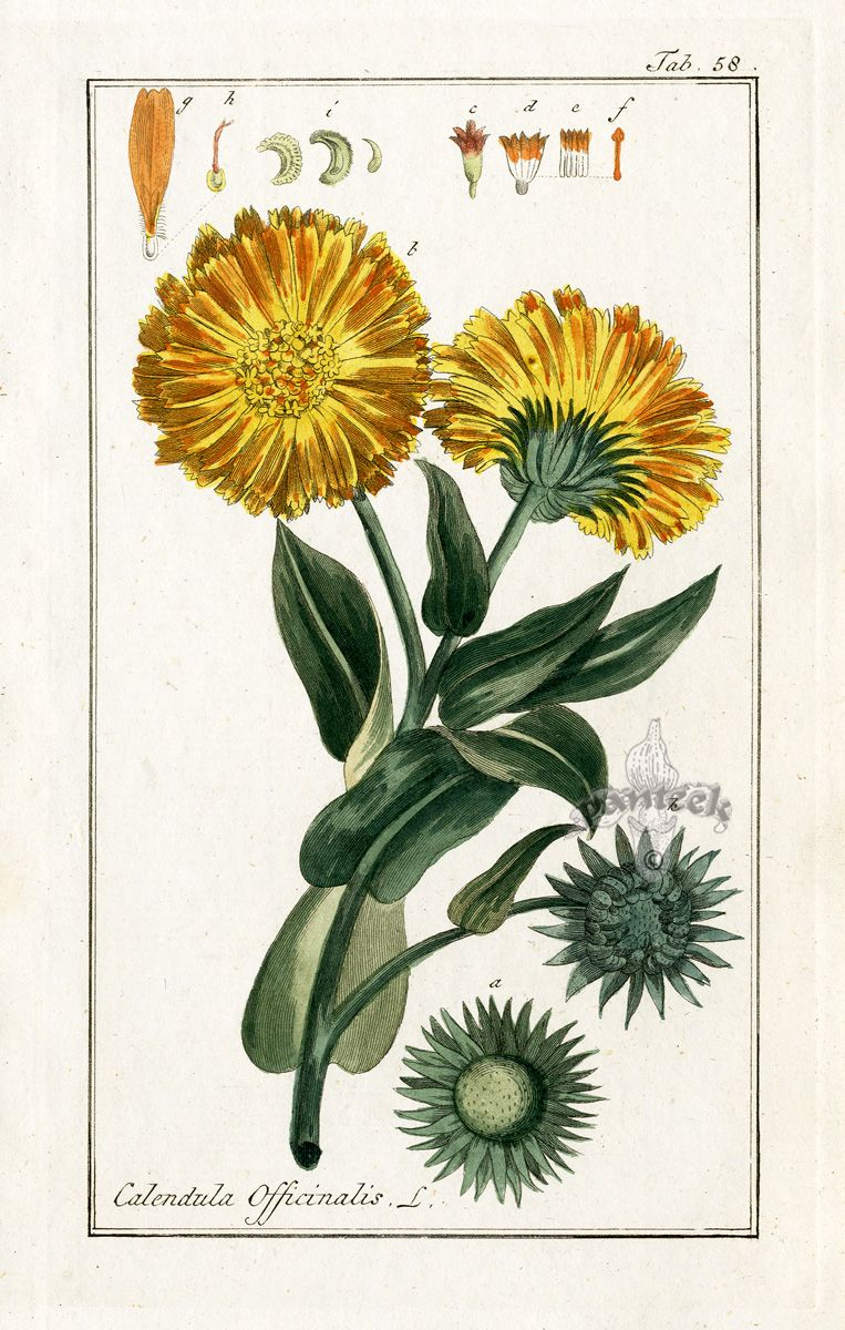 Calendula tattoo Botanical illustration vintage