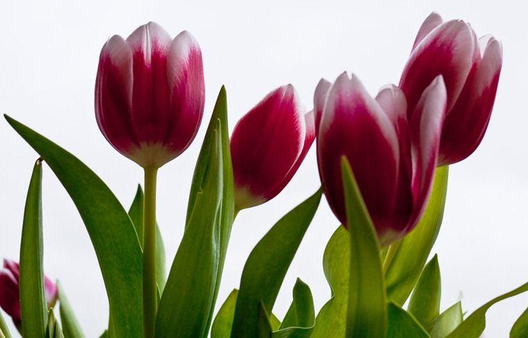 Los tulipanes se cultivaron como plantas ornamentales for Definicion de plantas ornamentales