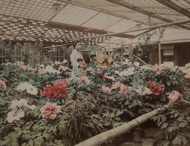 Japon, c. 1890s  - Peony Garden by Kusakabe Kimbei (1841- 1934), albumen print. Museum of Photographic Arts Collections.