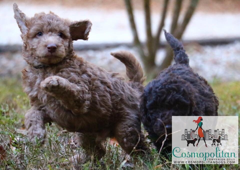 Silver Beige Left And Chocolate Right Goldendoodle Puppies Www