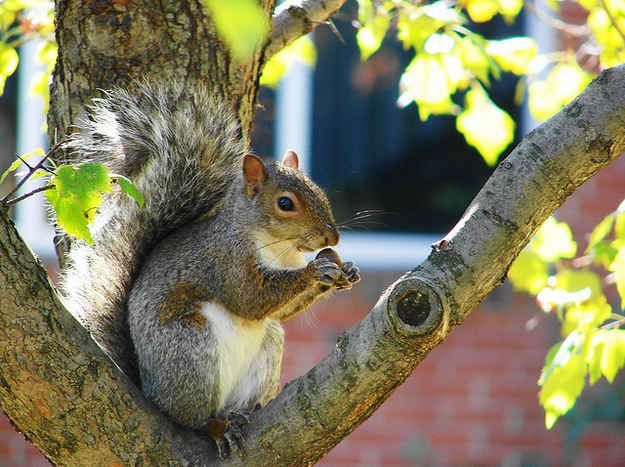 Squirrels forgetting where they put their acorns results in thousands of new trees each year.