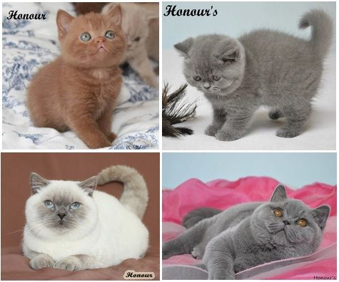 British Shorthair British Shorthair Cattery British Shorthair Kedi Ingiliz Kedisi Scottish Fold Satilik British Shorthair Kedi Scottish Fold Kedi Iskoclar