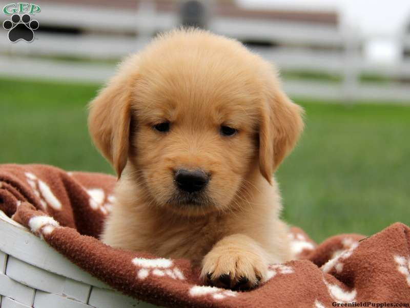 Kenny Golden Retriever Puppy For Sale From Bird In Hand Pa