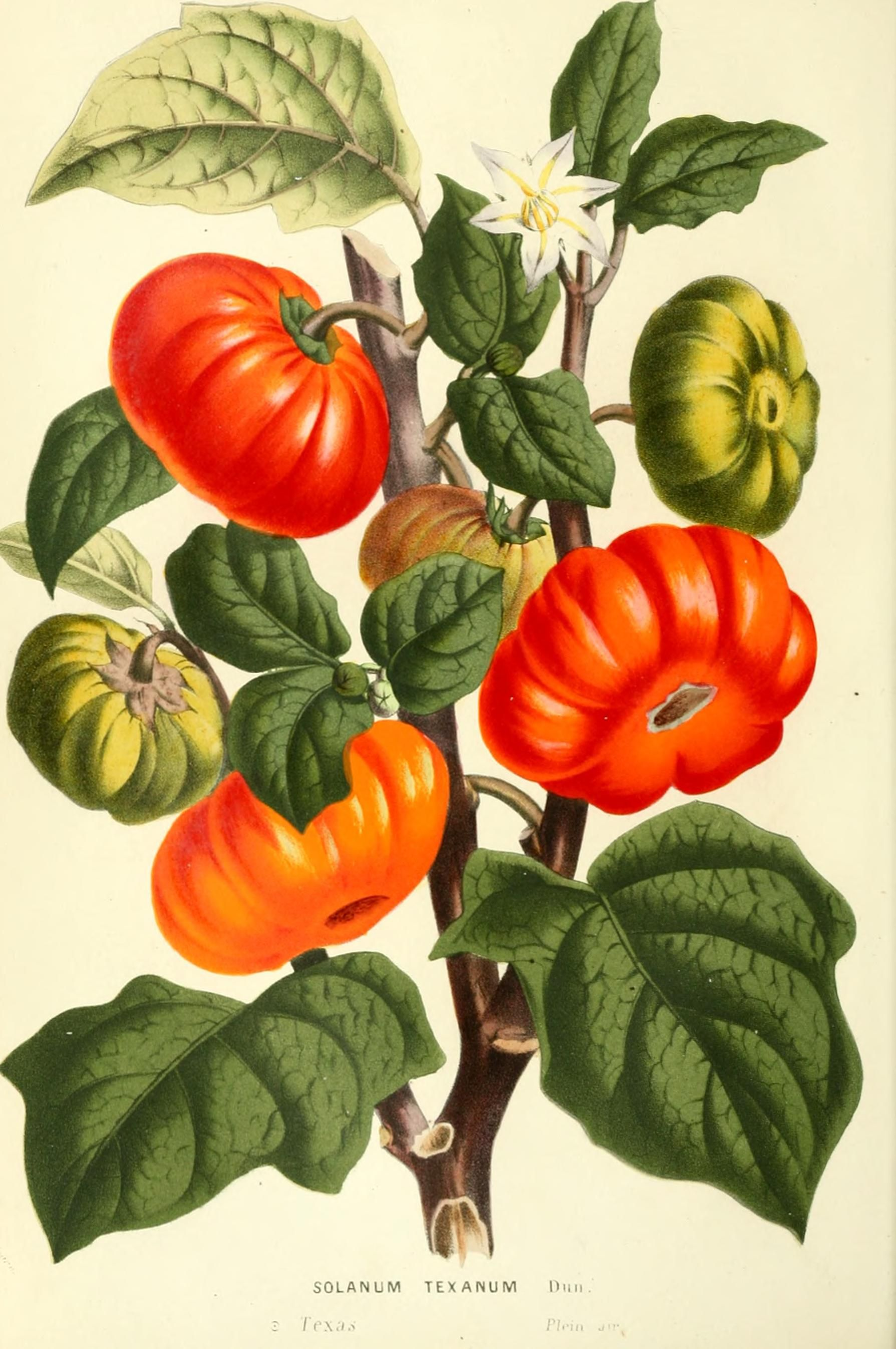 What is the botanical name for the tomato plant?