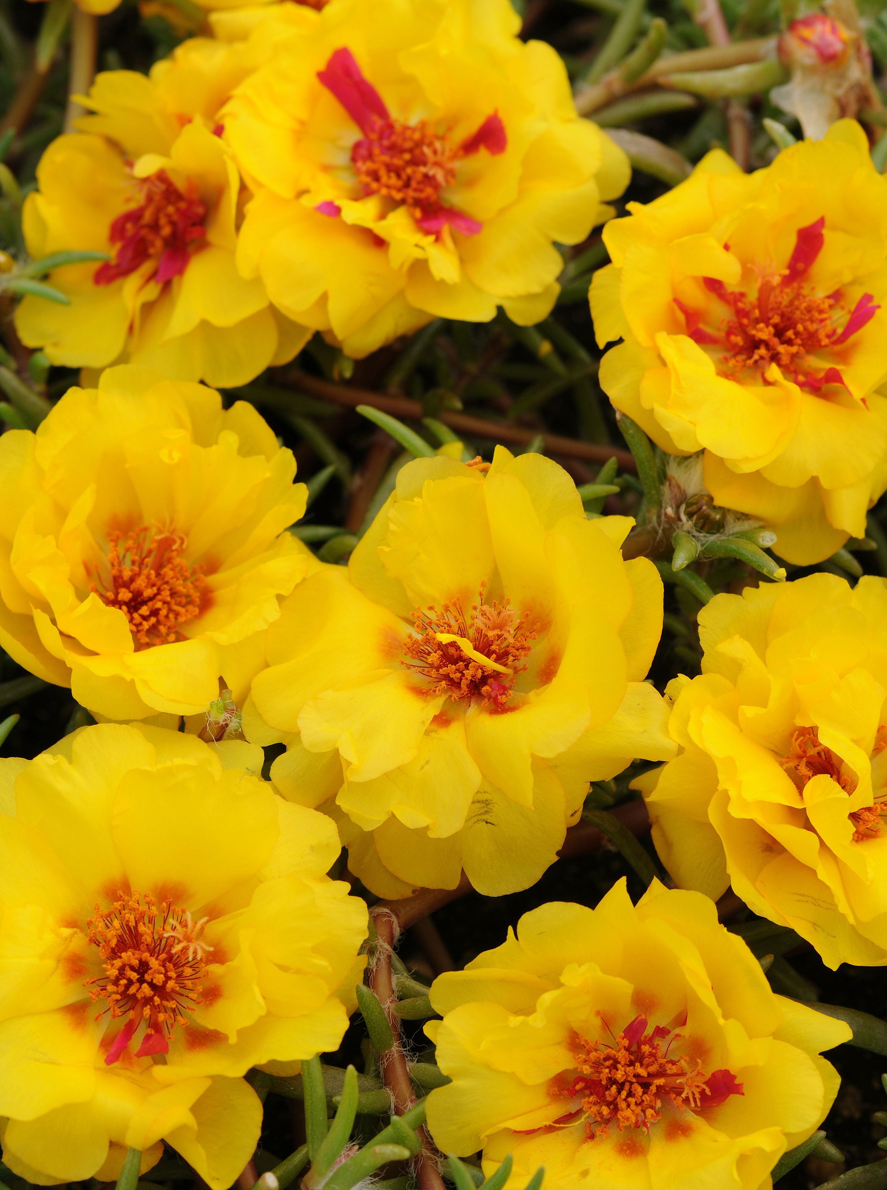 Portulaca Rose Moss Happy Trails Yellow Ball Horticultural Co
