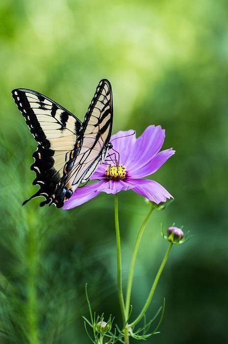 Swallowtail Butterfly By Debbie Green 蝶 押し花 虫