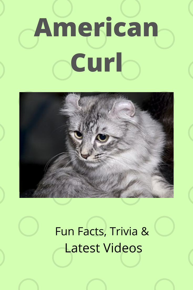 American Curl American Curl American Curl Kittens American Wirehair