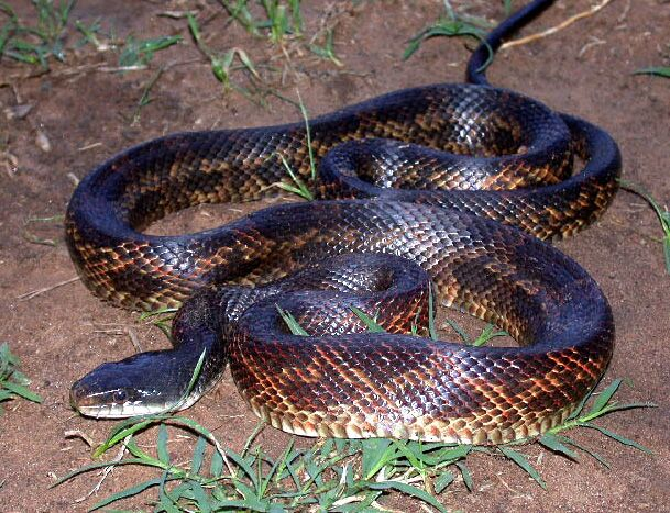 Milk snake - Wikipedia, the free encyclopedia | Constrictors ...