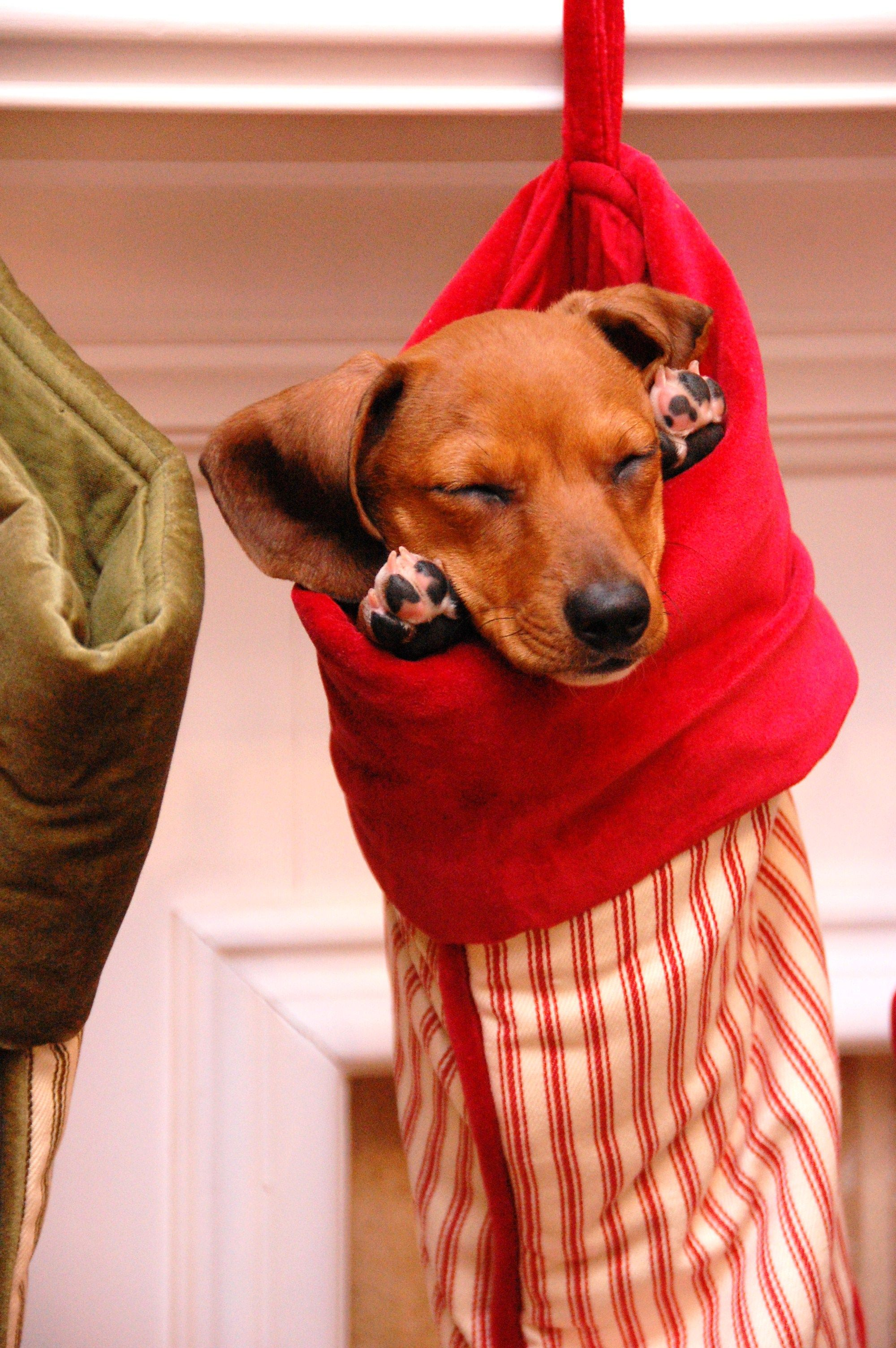 Christmas Doxie Dachshund Christmas Dog Dachshund Love