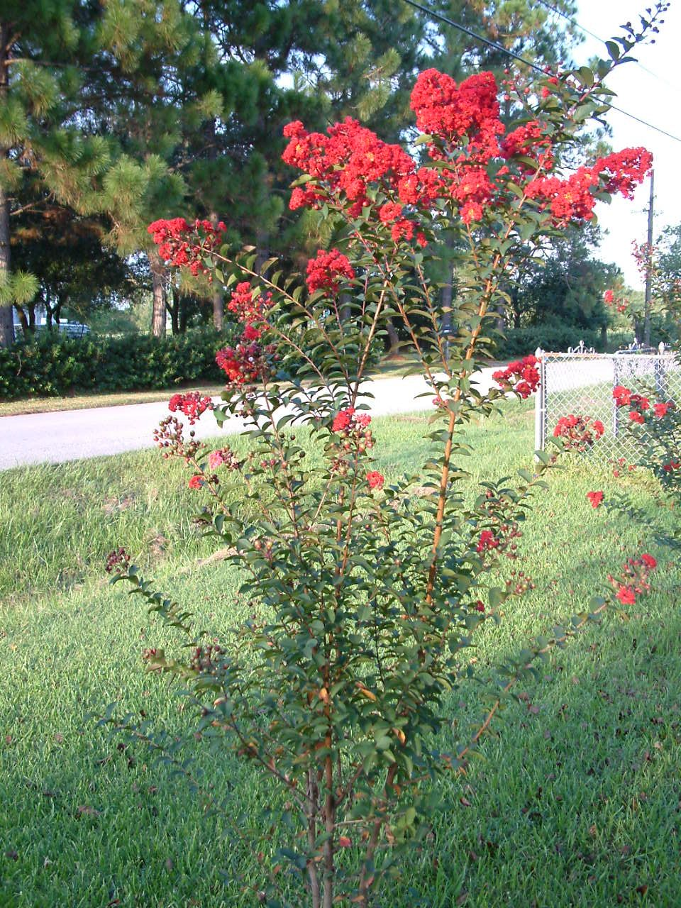 Crape Myrtle provides the garden with dramatic late summer blooms on ...