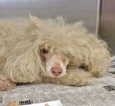 Shelter Friends Please Do Not Overlook Disheveled Stray Dog Dogs Miniature Poodle Mix Shelter Dogs