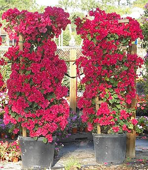 Bougainvillea We Have Two Of These One This Color Which Is Performing Okay The Other A Purple One Hasn T Mad Bougainvillea Trellis Tropical Garden Plants
