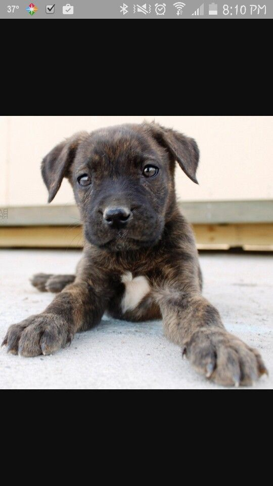 german shepherdpitbull mix puppys pinterest dogs