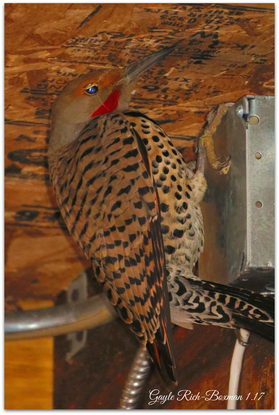 Northern Flicker, a bird in the Woodpecker family. He/she