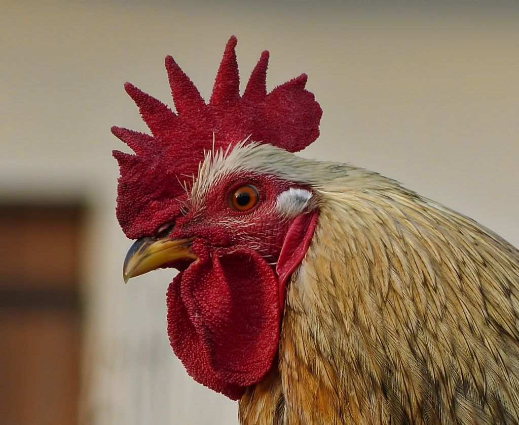 FZ150 - Close-up of a rooster expression - Steve's Digicams
