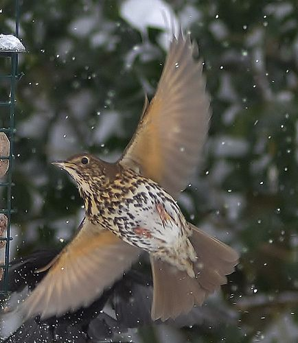 Image result for a speckle of thrush song flying through open sky