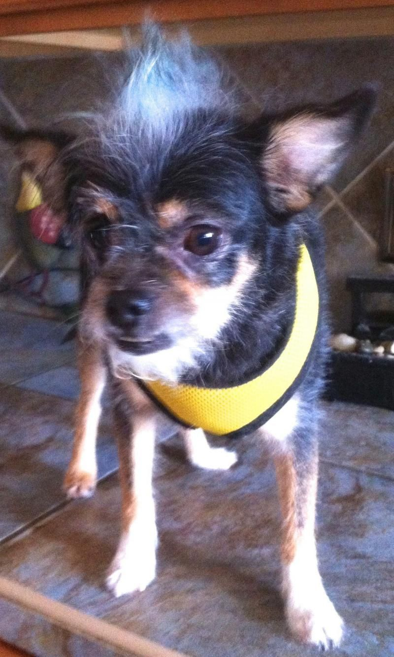Adopt Guizmo on Chihuahua terrier mix, Animals, Animal