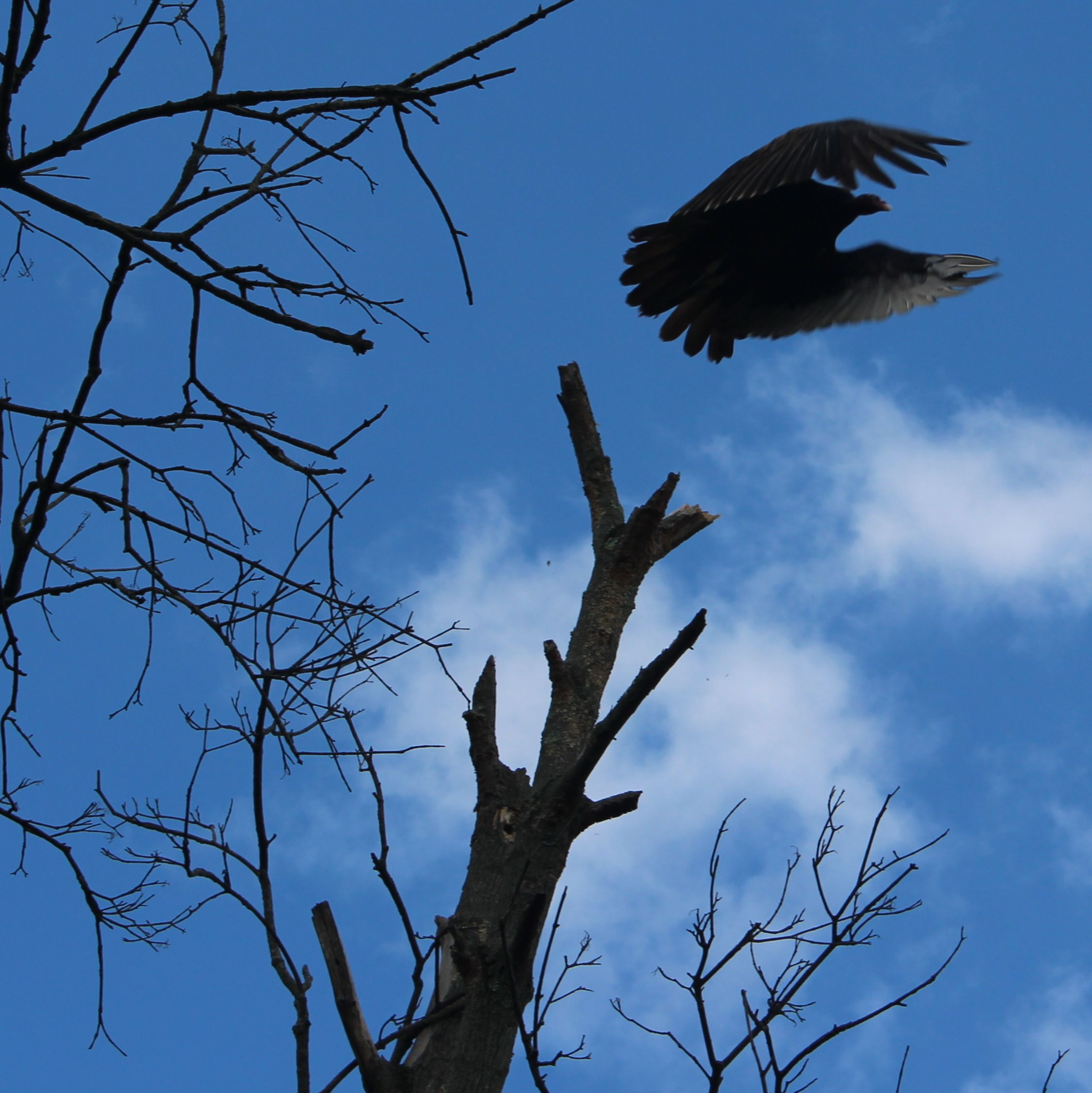 turkey vulture taking off from dead Red Maple tree