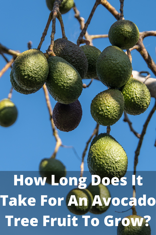 How Long Does It Take For An Avocado Tree Fruit To Grow In 2020 Avocado Tree Growing An Avocado Tree Grow Avocado