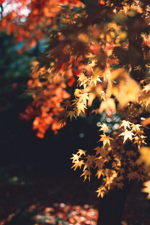 Autumn Leaves Wallpaper Credits Wallpaper4iphone Tumblr Com Fall Wallpaper Iphone Wallpaper Fall Autumn Leaves Prints