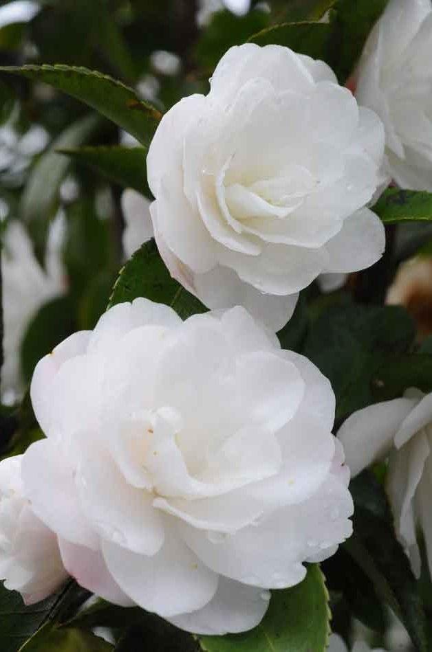Camellia cinnamon cindy flowrs pinterest camellia flowers camellia cinnamon cindy white roseswhite flowersflowering mightylinksfo