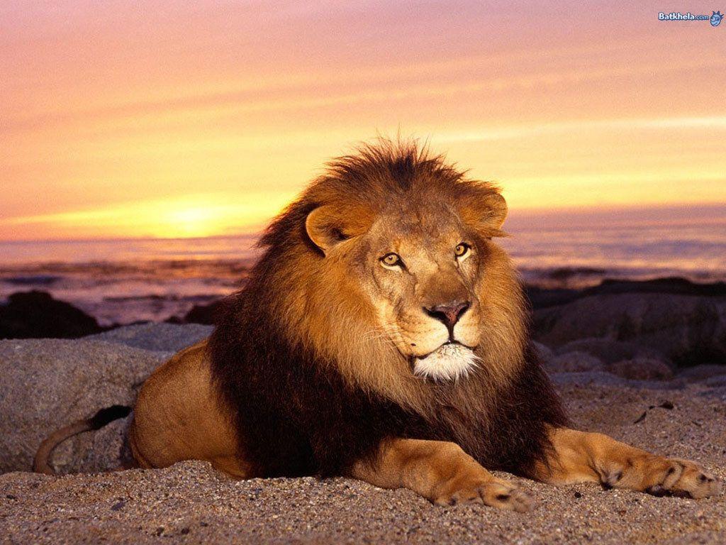 Lions Having Lions Having