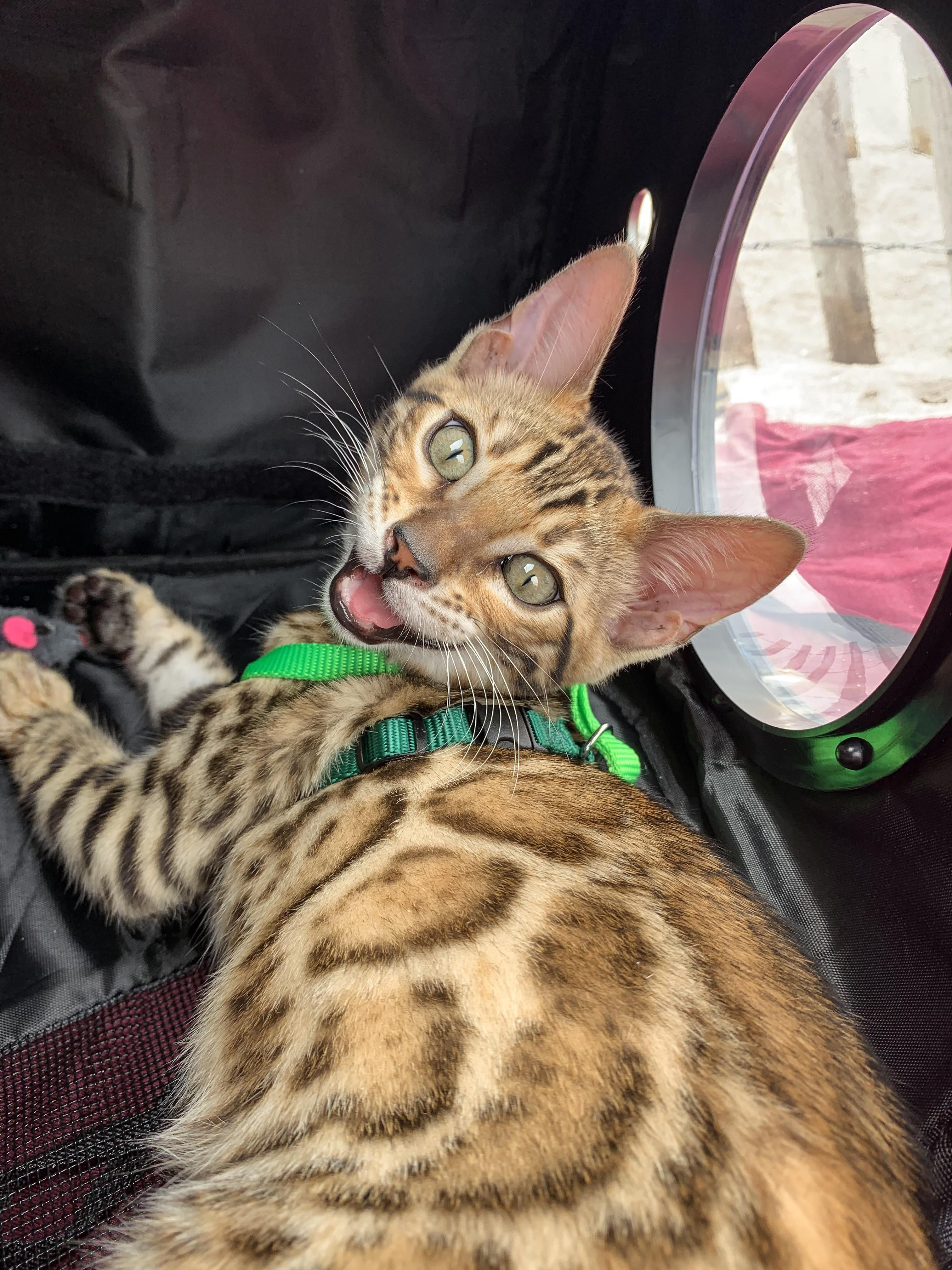 Hiiiii I M Kiwi 4 Month Old Bengal Duhhh I Run My Insta Page Kiiwikat And My Hoomans Help Edit Cute Cats And Kittens Cat Sanctuary Cool Cats