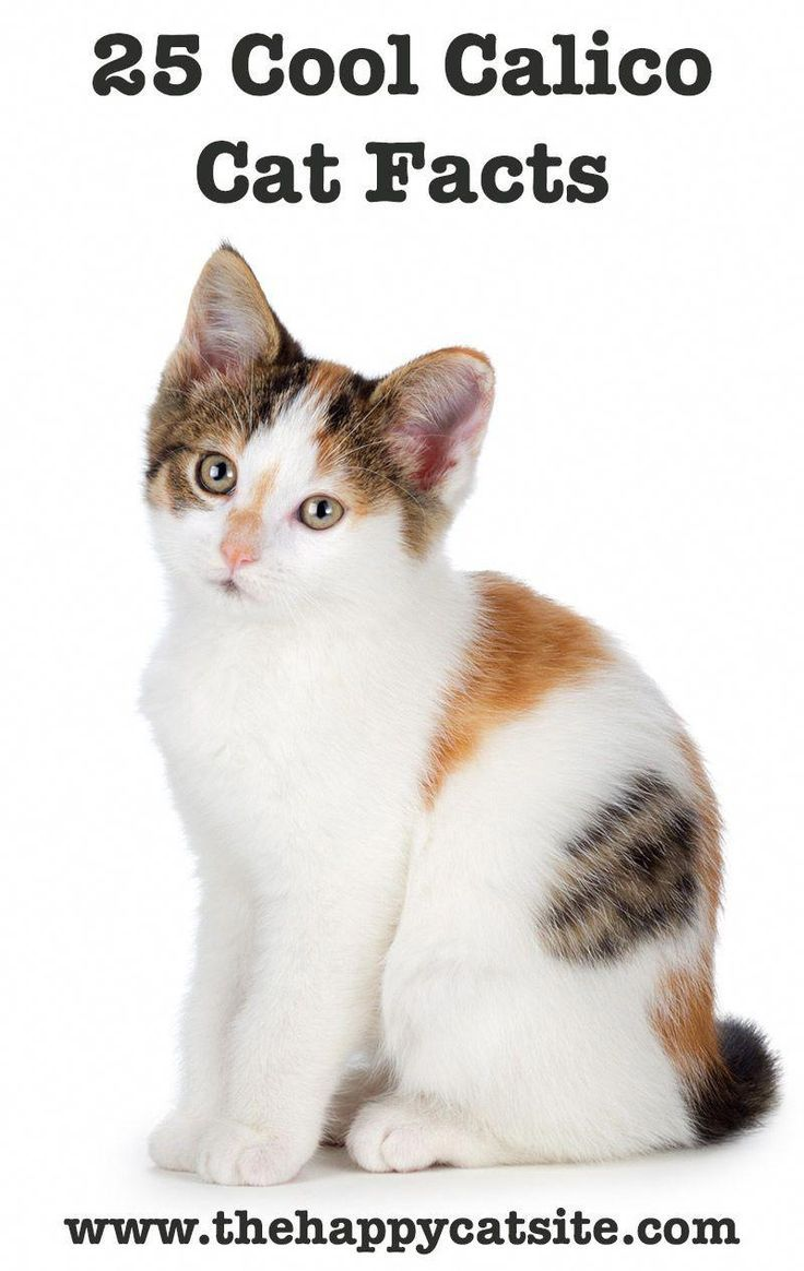 Calico Cat Facts 25 Amazing Facts About Calico Cats Calico Cat Facts Cat Facts Calico Cat Names