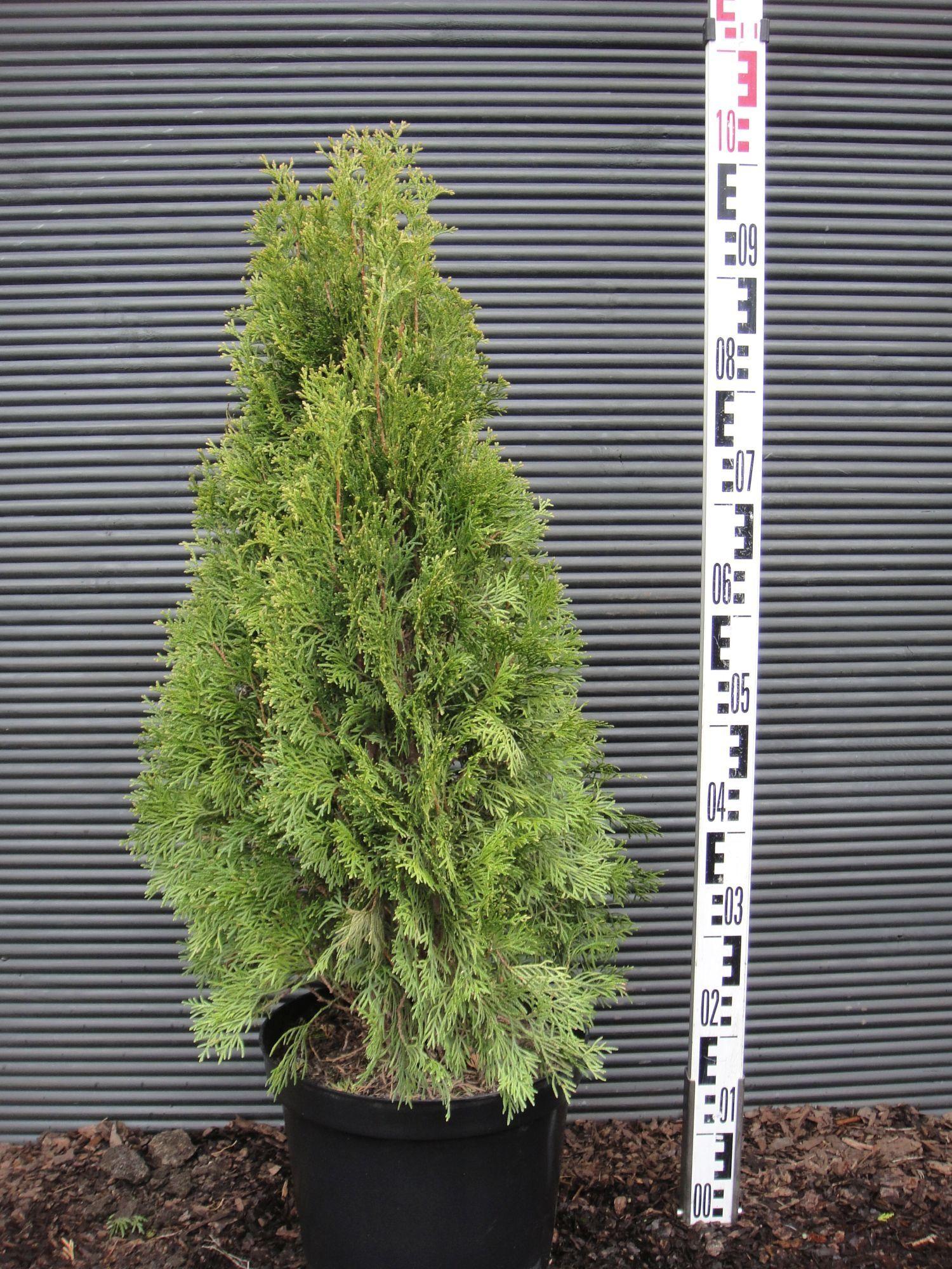 thuja occidentalis smaragd żywotnik